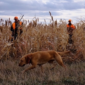 Pheasant Searching with Dog