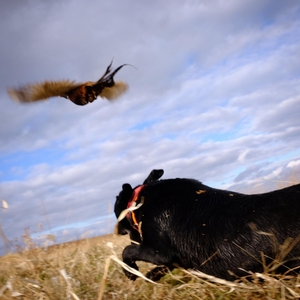 Pheasant Chasing with Dog